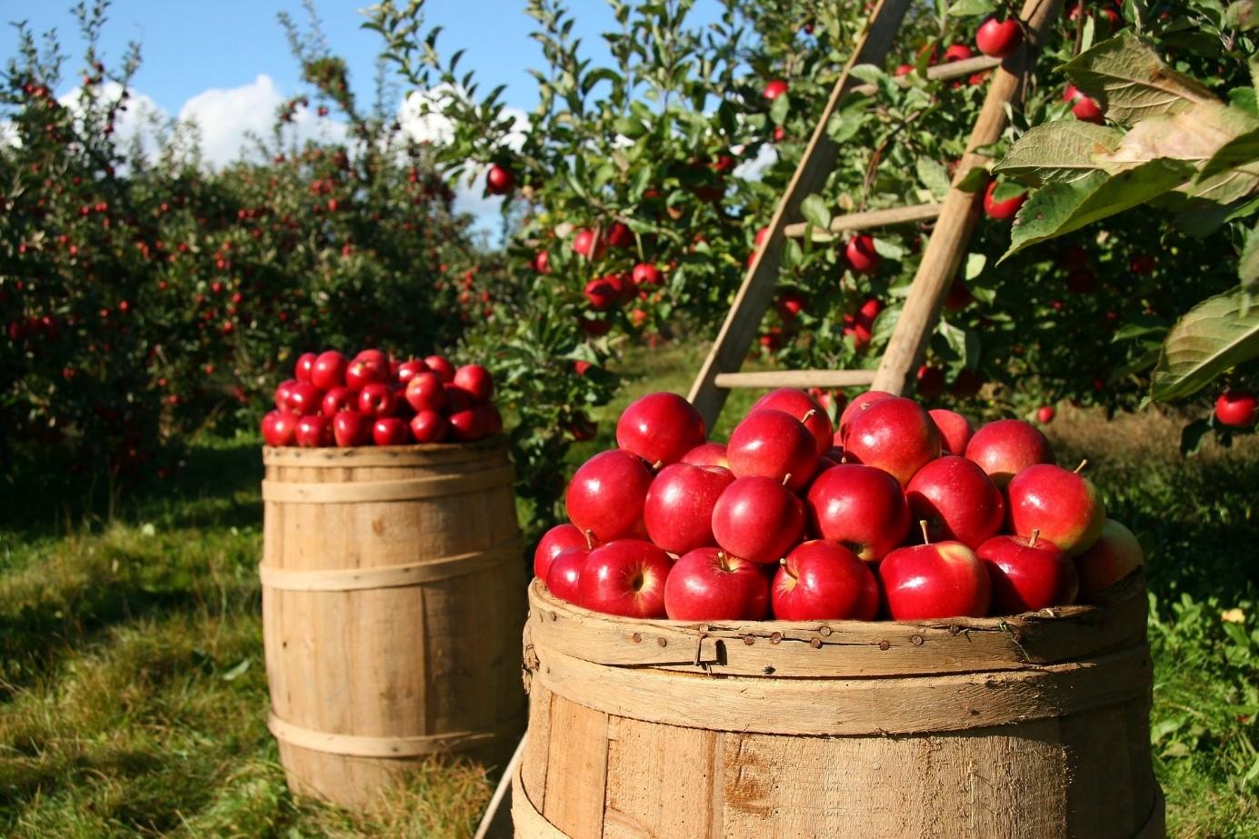 recolte pomme